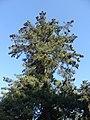 Pinus wallichiana tree 1844.jpg