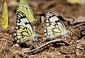 Pioneer Butterflies Mudpuddling Chinnar WLS Kerala (66).jpg