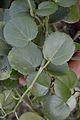 Piperaceae Plant - Kolkata 2013-11-10 - Kolkata 2013-11-10 4486.JPG