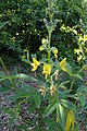 Piptanthus nepalensis kz02.jpg
