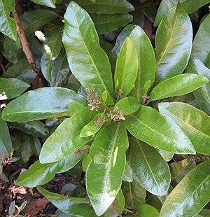 Pisonia - Pisonia brunoniana