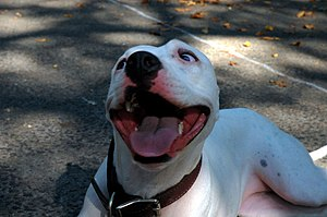 English: An American Pit Bull Terrier. Español...