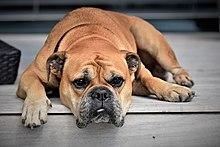 Continental Bulldog Wikipedia