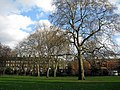 Plane trees in Bethnal Green Gardens - geograph.org.uk - 1597348.jpg