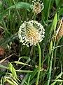 Plantago lanceolata-Plantain lancéolé-20210506.jpg