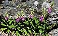 Plantas de Dedalera (Digitalis purpurea) (44360549074).jpg