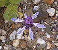 Plectranthus arabicus 04 ies.jpg