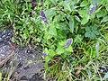 Plectranthus barbatus var.grandis-2-badulla road-nuwara eliya-Sri Lanka.jpg