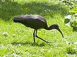 Plegadis falcinellus, Tierpark Hellabrunn, Múnich, Alemania, 2012-06-17, DD 02.jpg