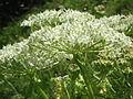 Pleurospermum austriacum004.jpg