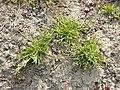 Poa annua (subsp. annua) sl6.jpg
