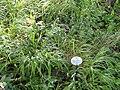 Poa nemoralis - Botanical Garden, University of Frankfurt - DSC02415.JPG