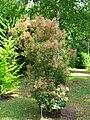Podlaskie - Suprasl - Kopna Gora - Arboretum - Cotinus coggygria - plant w. flowers.JPG
