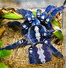 Poecilotheria - Wikiwand