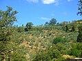 Poggio San Martino e gli olivi - panoramio.jpg