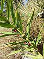 Polygonatum verticillatum sl4.jpg