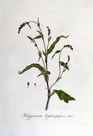 Polygonum hydropiper — Flora Batava — Volume v6.jpg