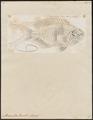 Pomacentrus pavo - 1774-1804 - Print - Iconographia Zoologica - Special Collections University of Amsterdam - UBA01 IZ13900278.tif