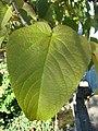 Populus lasiocarpa leaf 01 by Line1.JPG