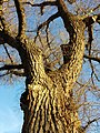 Populus nigra sl3.jpg
