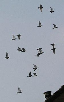 Pigeon racing - Wikipedia
