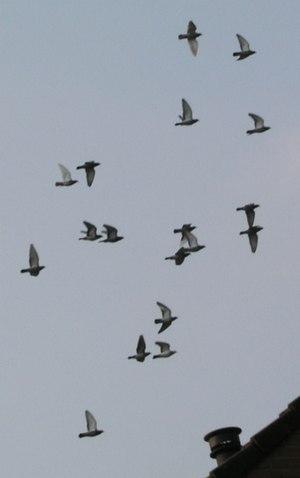 Pigeon racing - Image: Postduiven
