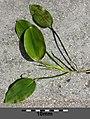 Potamogeton natans sl11.jpg