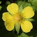 Potentilla hebiichigo (flower s4).jpg