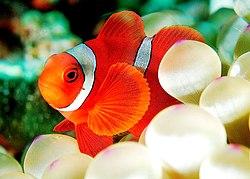 Un poisson-clown épineux, de l'espèce Premnas biaculeatus