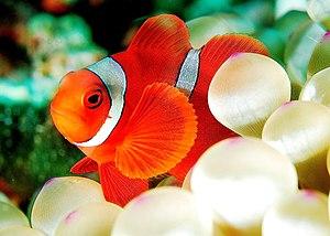 A Maroon clownfish