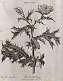 Prickly poppy (Argemone mexicana); flowering stem with cater Wellcome V0044289.jpg