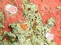 Protea nudibranch at Pinnacle DSC03005 crop.jpg