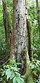 Prunus africana à São Tomé (5).jpg