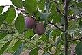 Prunus domestica, Europese cultuurpruim 'Anna späth'.jpg