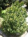 Prunus lusitanica 3c.JPG