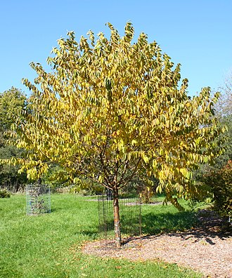 Prunus maximowiczii - Prunus maximowiczii, Morton Arboretum, Lisle, Illinois