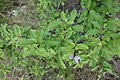 Prunus spinosa, Rosaceae 04.jpg
