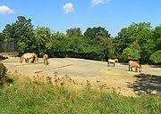 Przewalski's Horses (Equus ferus przewalskii) at Prague Zoo (Czech Republic), part of an international captive breeding program.