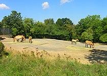 Przewalskis horses exposition, Zoo Prague.jpg