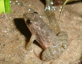 Pseudopaludicola falcipes02a.jpg