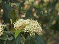 Psydrax odorata flowers.jpg