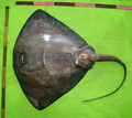 Pteroplatytrygon violacea ventral view.png