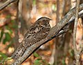 Puerto Rican Nightjar on a tree Guabairo (5839923675).jpg