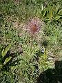 Pulsatilla alpina fruit01.jpg