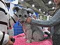 Pumi puppy (8109920929).jpg