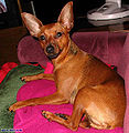 Purebred red miniature pinscher.jpg