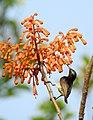 Purple-rumped Sunbird Leptocoma zeylonica male by Dr. Raju Kasambe DSCN0169 (1).jpg