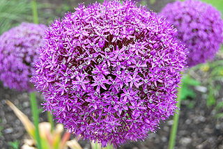 <i>Allium giganteum</i> species of plant