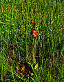 Purple Pitcher Plant (Sarracenia purpurea) (9467171169).jpg