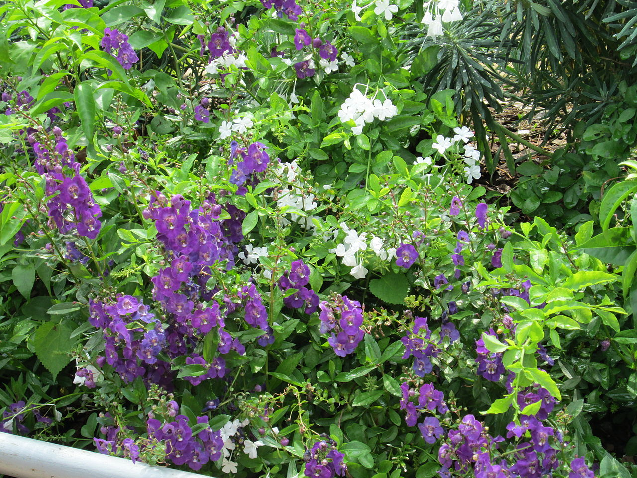 File Purple flowering plants at FMNH JPG Wikimedia mons